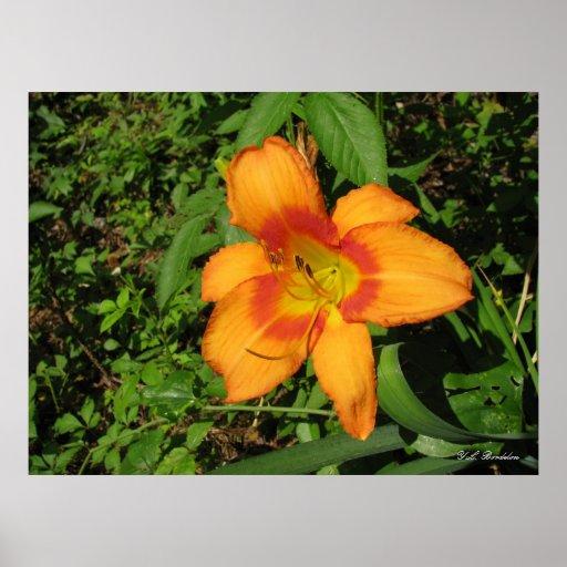 Orange Crush Daylily Poster
