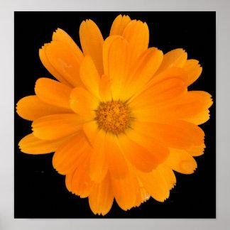 Orange Dahlia Flower on Black Background Poster