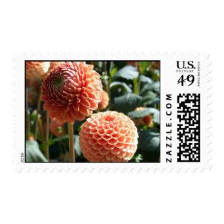 Orange dahlias photo postage stamp
