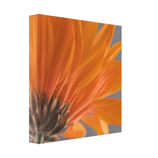 Orange Daisy Back Wrapped Canvas Print