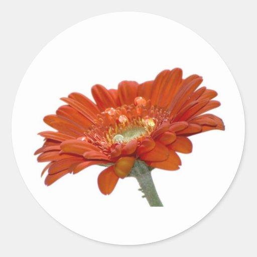 Orange Daisy Gerbera Flower Classic Round Sticker