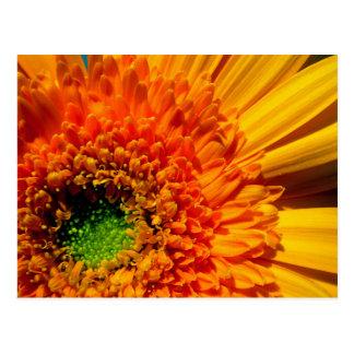 Orange Daisy Postcard