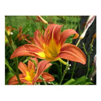 Orange Day Lillies Postcard
