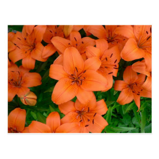 Orange daylilies postcard