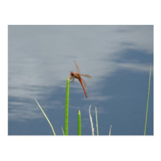 orange dragonfly on the blade of grass postcards