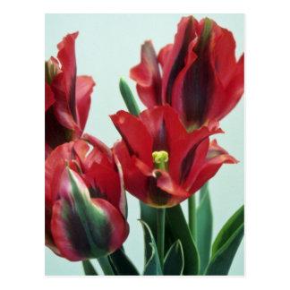 Orange Esperanto, (Tulipo Esperanto) flowers Post Cards