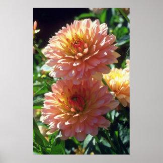 Orange Ferncliff Daybreak Dahlia flowers Poster