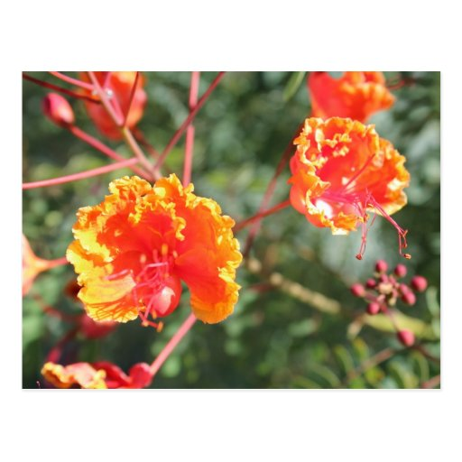 Orange Flower # 8 Postcard