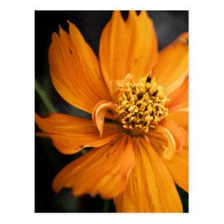 Orange Flower (Gift) Postcard