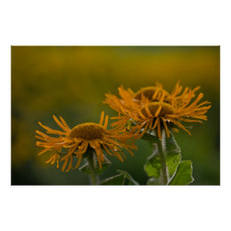 Orange flower heads Inula Orientalis CC0023 Poster