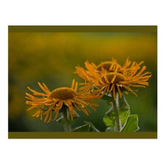 Orange flower heads Inula Orientalis CC0024 Postcard