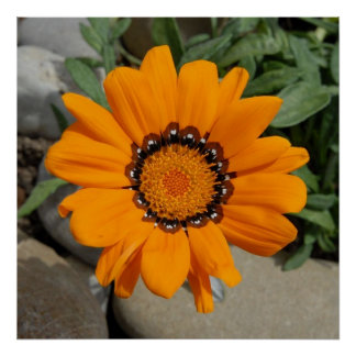 Orange Gazania Flower With Natural Background Poster