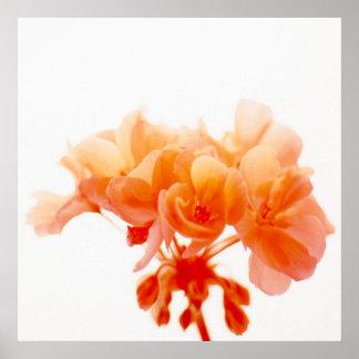 Orange Geranium Poster