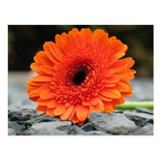 Orange Gerbera Daisy on Shale Background Postcard