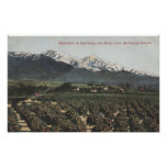 Orange Groves with Old Baldy Mt in Distance Poster