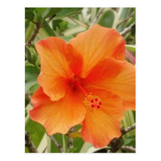 orange hawaii hibiscus plant postcard