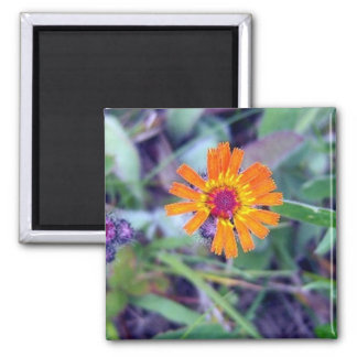 Orange Hawkweed 1 Magnet