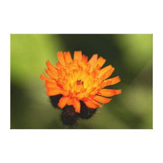 Orange Hawkweed Canvas Print