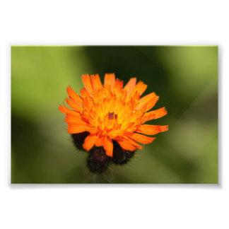 Orange Hawkweed Photo Print