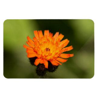 Orange Hawkweed Rectangular Magnet