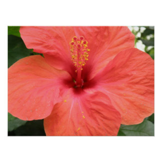 Orange Hibiscus Flower Macro Poster