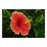 Orange Hibiscus Flower Poster