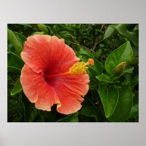 Orange Hibiscus Poster Print