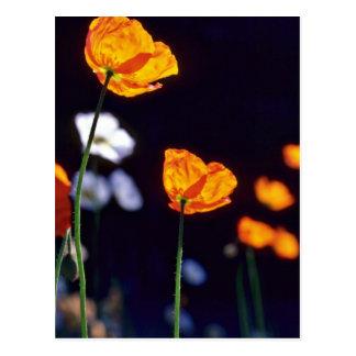 Orange Iceland Poppies flowers Postcard