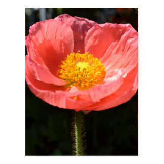 Orange Iceland Poppy II Postcard
