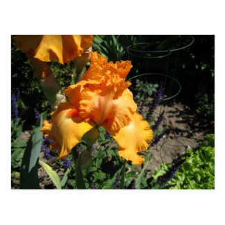 Orange Iris Postcard