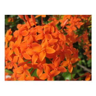 Orange Ixora Plant Postcard