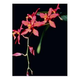 Orange Keighleyensis (Odontioda) flowers Postcard