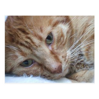 Orange Kitty Postcard