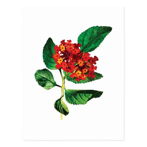 Orange Lantanas Postcard
