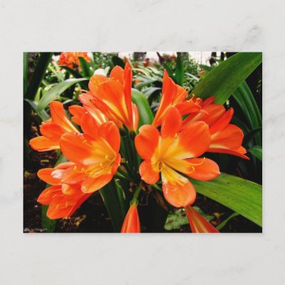 Orange Lillies Flowers @ Funchal, Portugal postcard