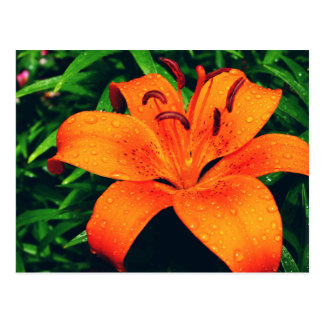 Orange Lilly with Rain drops Postcard