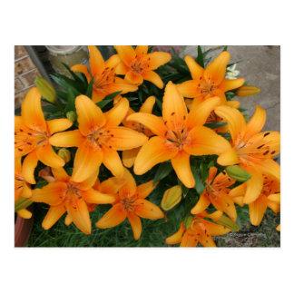 Orange Lilly's Postcard