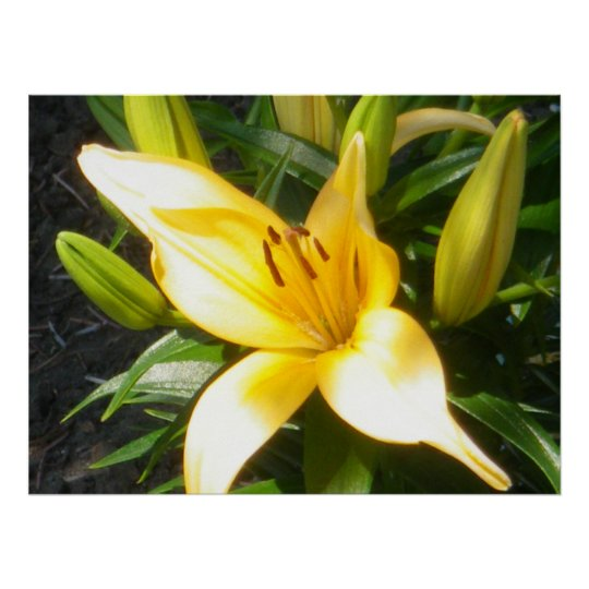 Orange Lily in Bloom Poster