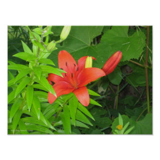Orange Lily On Green Leaves Poster