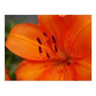 Orange Lily Postcard
