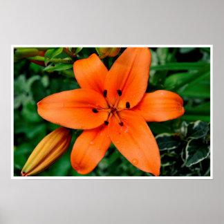 Orange Lily Posters