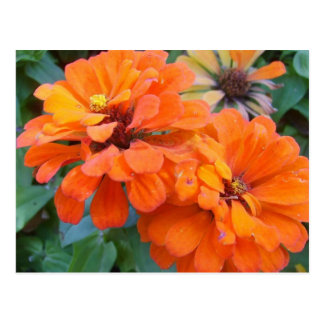 Orange Marigolds Postcard