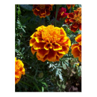 Orange Marigolds Vertical Postcard