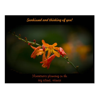 Orange Montbretia Flower Postcard