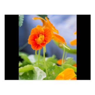 Orange Nasturtium Flower Post Card