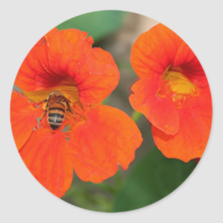 Orange Nasturtium flowers in bloom Classic Round Sticker