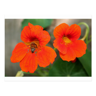 Orange Nasturtium flowers in bloom Postcard