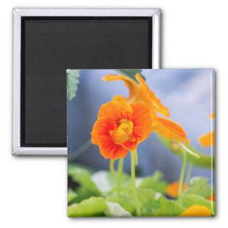 Orange Nasturtium Magnet