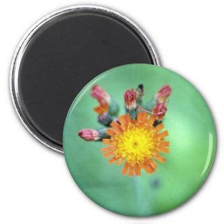 Orange Orange Hawkweed (Hieracium Aurantiacum) flo Magnets