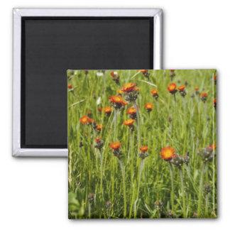 Orange Orange Hawkweed (Hieracium Aurantiacum) flo Fridge Magnets